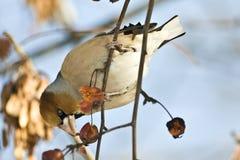 Hawfinch (coccothraustes del Coccothraustes) fotografía de archivo