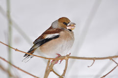 Hawfinch, coccothraustes del Coccothraustes Fotos de archivo libres de regalías