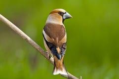 Hawfinch (coccothraustes del Coccothraustes) fotografie stock libere da diritti