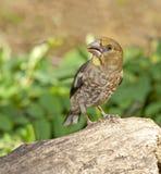 Hawfinch (coccothraustes del Coccothraustes) fotografia stock libera da diritti