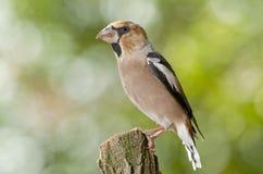 Hawfinch (coccothraustes del Coccothraustes) immagini stock libere da diritti