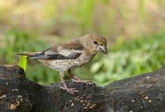 Hawfinch (coccothraustes del Coccothraustes) immagine stock libera da diritti