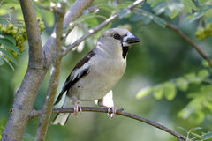 Hawfinch, coccothraustes do Coccothraustes Imagens de Stock