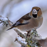 Hawfinch Coccothraustes male in winter Royalty Free Stock Photos