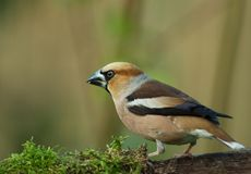 Hawfinch Coccothraustes coccothraustes perching. Early in the morning, Hawfinch Coccothraustes coccothraustes sits on a mossy branch of a tree. Poland in June Stock Photos