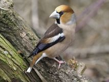 Hawfinch, Coccothraustes coccothraustes Royalty Free Stock Photo