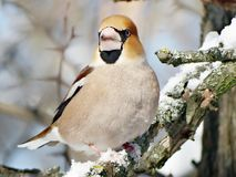 Hawfinch royalty free stock images