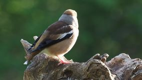 Hawfinch Coccothraustescoccothraustes lager videofilmer