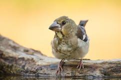 Hawfinch - Coccothraustescoccothraustes Royaltyfria Bilder