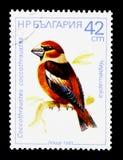 Hawfinch (Coccothraustescoccothraustes), fågelserie, circa 198 Arkivbild