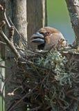 Hawfinch, der auf dem Nest sitzt Lizenzfreies Stockfoto