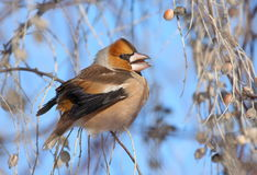 Hawfinch eating seeds. Hawfinch (coccothraustes coccothraustes) standing on branch and eating seeds Royalty Free Stock Image