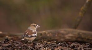 Hawfinch en piso del bosque Fotografía de archivo