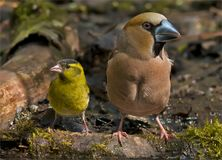 Hawfinch and Eurasian Siskin together for scale comparison stock photos