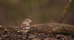 Hawfinch on forest floor Stock Photography