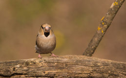 Hawfinch from the front Royalty Free Stock Images