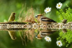 Hawfinch and green finch sitting on lichen shore of water pond in forest with beautiful bokeh and flowers in background, Germany. Bird reflected in water stock image