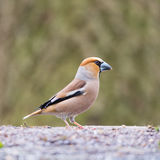 Hawfinch at ground Stock Photos