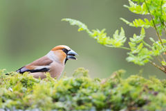 Hawfinch at ground Stock Images