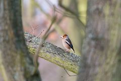 Hawfinch brown bird perching on a thick branch among trees in the forest royalty free stock image