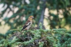 Hawfinch juvenil Fotos de archivo