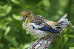 Hawfinch, juvenile. Sitting on a branch Stock Photo