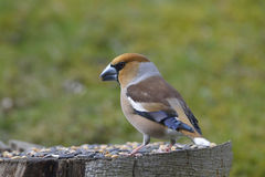 Hawfinch Stock Photography