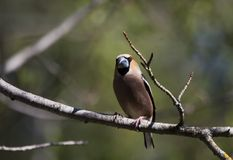 Hawfinch. A make hawfinch sitting in a tree Royalty Free Stock Images