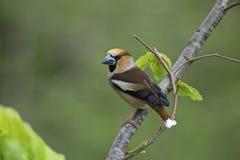 Hawfinch, mannetje Stock Afbeeldingen