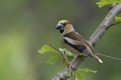 Hawfinch, mannetje Stock Foto