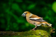 Hawfinch maschio Immagini Stock Libere da Diritti