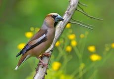 Hawfinch masculino encaramado en rama con las flores en el fondo imagenes de archivo