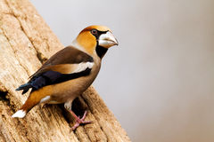 Hawfinch Royalty Free Stock Photography