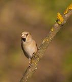 Hawfinch no ramo Fotografia de Stock Royalty Free