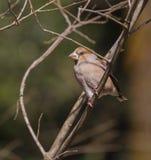 Hawfinch op tak Stock Afbeelding