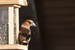 Hawfinch perched on a bird feeder, Vosges, France Royalty Free Stock Photography