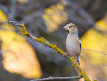 Hawfinch perched on branch Royalty Free Stock Image