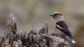Hawfinch perching Royalty Free Stock Photos
