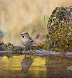 Hawfinch at pool with water reflections Royalty Free Stock Images