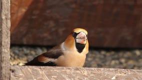 Hawfinch que come sementes video estoque