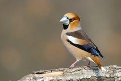Hawfinch que senta-se em um membro Foto de Stock Royalty Free