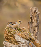 Hawfinch on a rock Stock Image