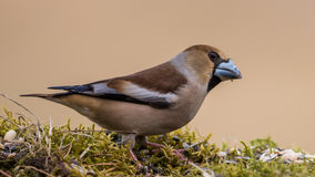 Hawfinch's beak Stock Photo