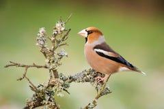 Hawfinch se reposant dans la branche images stock