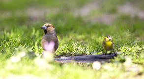Hawfinch and Siskin Royalty Free Stock Photo