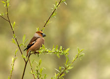Hawfinch sits on a thin branch(Coccothraustes coccothraustes). Poland.Spring in May.Male Hawfinch sits on a thin branch(Coccothraustes coccothraustes) and Stock Photography