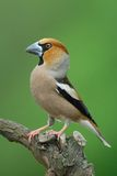 Hawfinch sitting on a limb. Behind green background stock photography