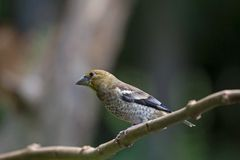 Hawfinch sitting on a stick Stock Photos