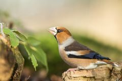 Hawfinch sitting on wodden trunk near pond in forest and drinking water, bokeh background and saturated colors, Hungary. Songbird in nature forest lake habitat stock images