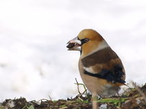 Hawfinch on snow Stock Photos